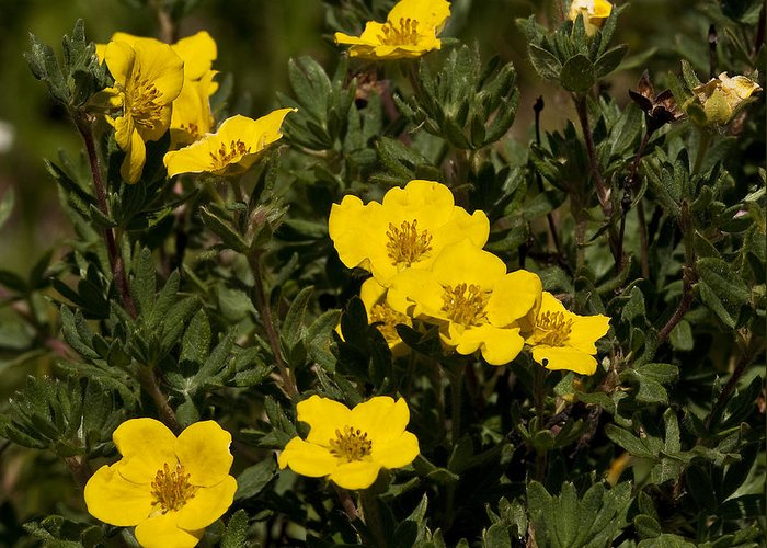 Yellow Greeting Card featuring the photograph Yellow Potentilla Or Cinquefoils by Paul Cannon