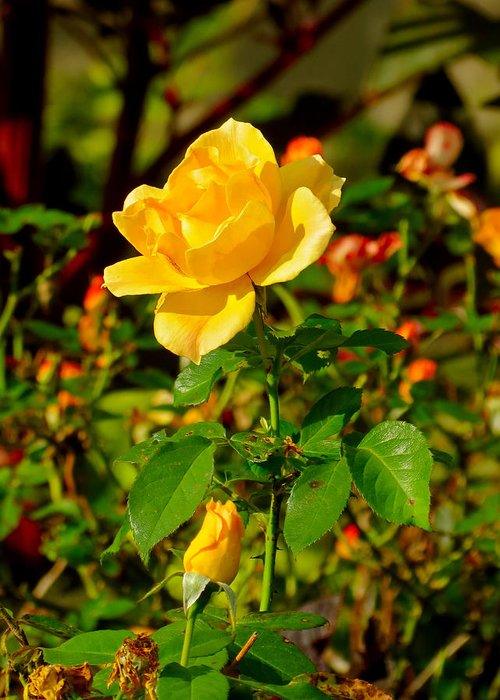 Rose Greeting Card featuring the photograph Yellow Rose by Azthet Photography