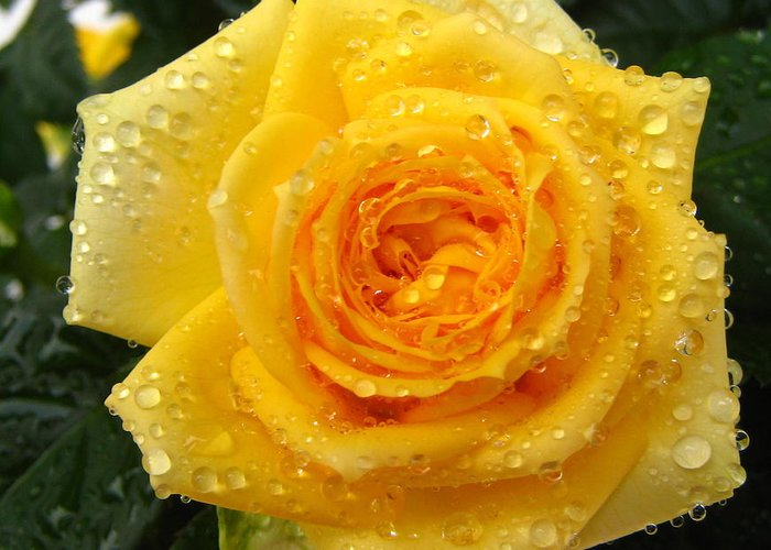 Rose Greeting Card featuring the photograph Yellow Rose With Water Droplets by Maria Malevannaya