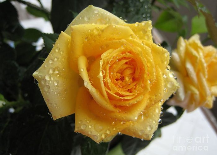 Rose Greeting Card featuring the photograph Yellow Roses With Water Droplets by Maria Malevannaya