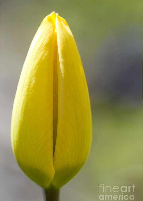 Tulip Greeting Card featuring the photograph Yellow Tulip Bud by Heiko Koehrer-Wagner