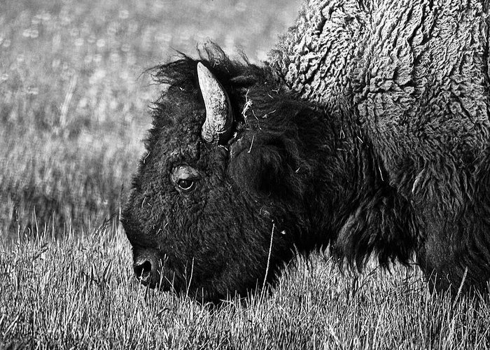 Yellowstone Greeting Card featuring the photograph Yellowstone Bison by Dan Wells