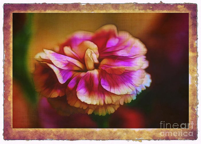Carnation Greeting Card featuring the photograph Yesterday by Judi Bagwell