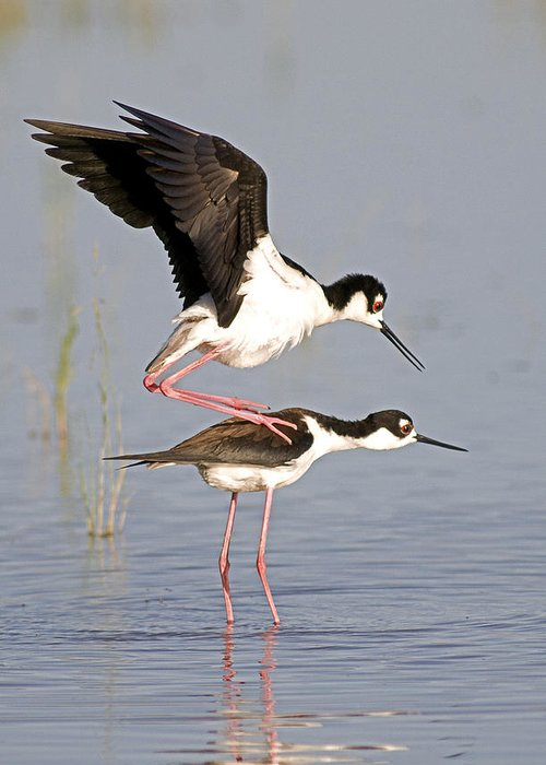 Black Necked Stilts Greeting Card featuring the photograph Yipee Ki Yae by Earl Nelson