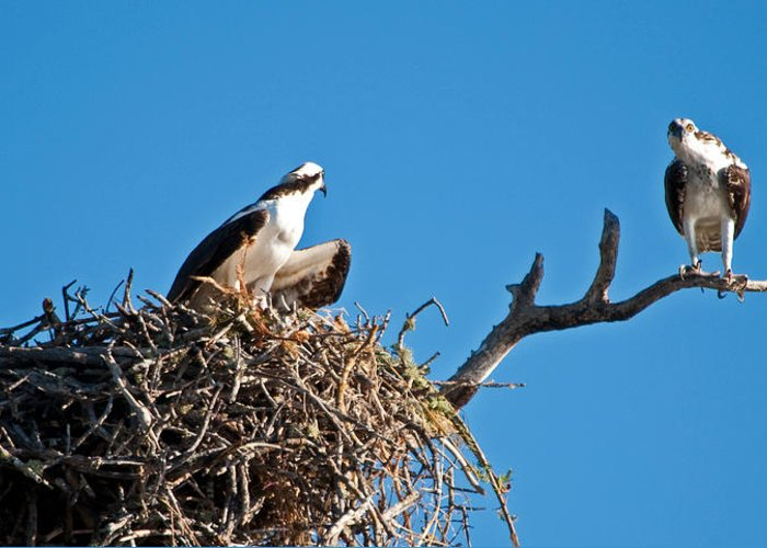 Osprey Greeting Card featuring the photograph You Lookin At Me by Christine Stonebridge