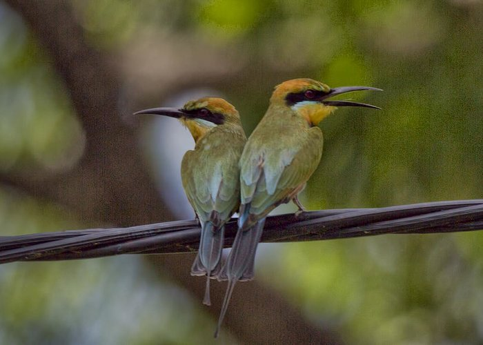 Rainbow Bee-eaters Greeting Card featuring the photograph You Watch My Back and I Watch Yours V2 by Douglas Barnard