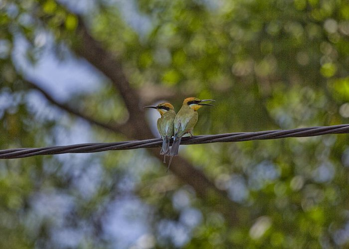 Rainbow Bee-eaters Greeting Card featuring the photograph You Watch My Back And I Will Watch Yours by Douglas Barnard