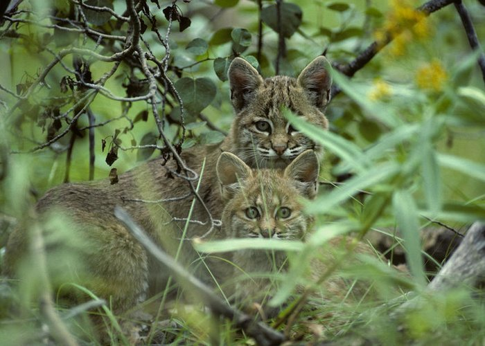 Nobody Greeting Card featuring the photograph Young Bobcats by Michael S. Quinton