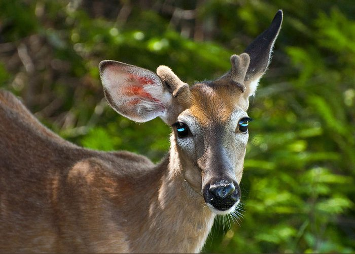 Deer Greeting Card featuring the photograph Young Buck 2 by Glenn Gordon