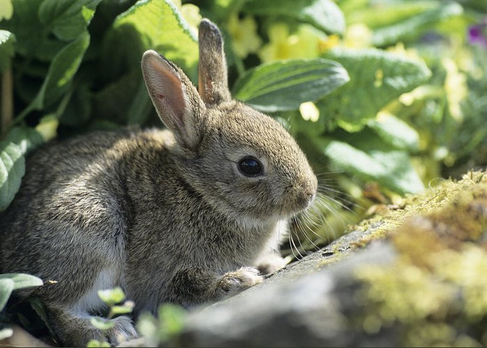 Oryctolagus Cuniculus Greeting Card featuring the photograph Young European Rabbit by David Aubrey