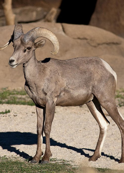 Bighorn Sheep Greeting Card featuring the photograph Young Male Bighorn by Dennis Hofelich