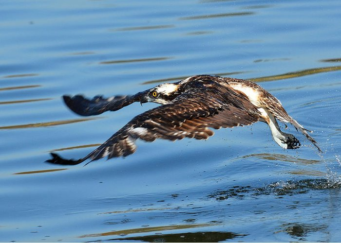Osprey Greeting Card featuring the photograph Young Raptor by Fraida Gutovich