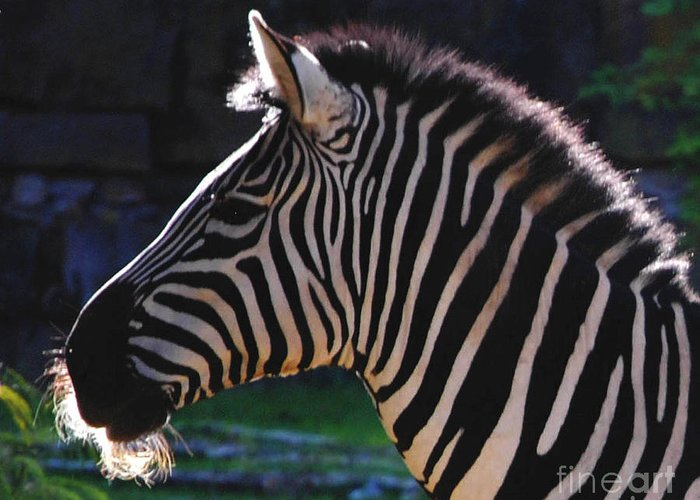 Zebra Greeting Card featuring the photograph Zebra Profile by DiDi Higginbotham