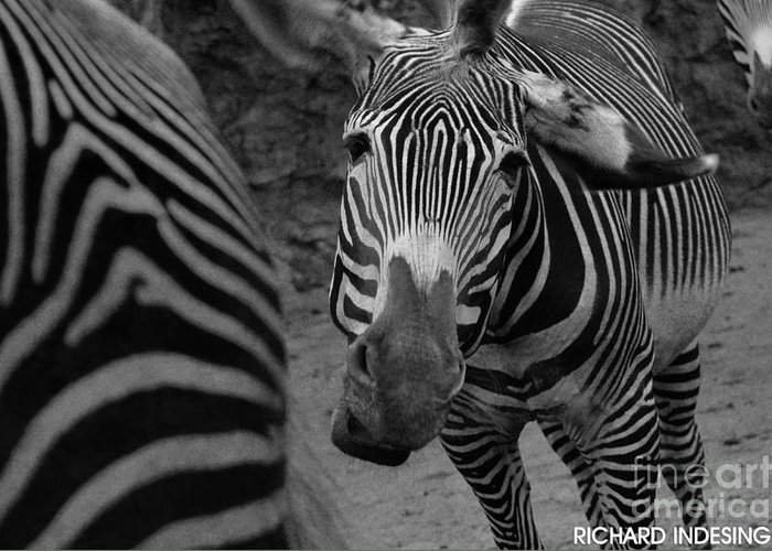 Zebra In Greeting Card featuring the photograph Zebra Sad by Richard Caicedo