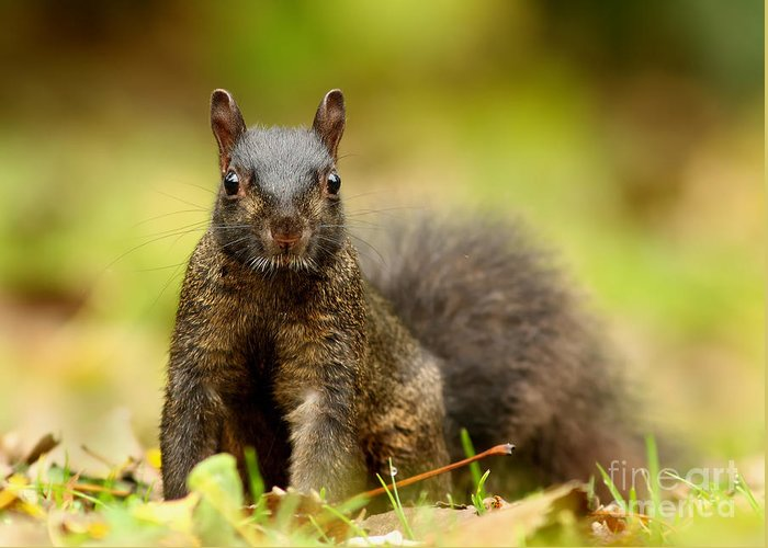 Eastern Greeting Card featuring the photograph Curious Black Squirrel by Mircea Costina Photography