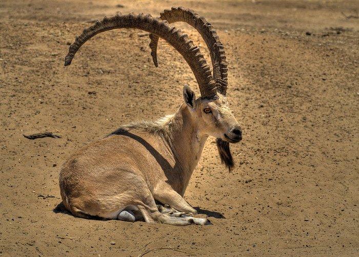 Safari Greeting Card featuring the photograph Nubian Ibex by Alexander Rozinov