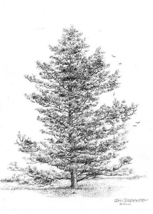 Pine Tree Greeting Card featuring the drawing Pine by Jim Hubbard