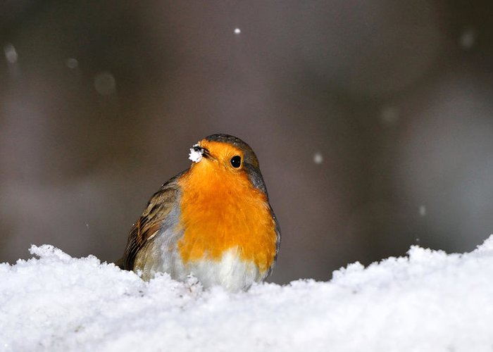 Robin In Snow Greeting Card featuring the photograph Robin In The Snow by Gavin Macrae