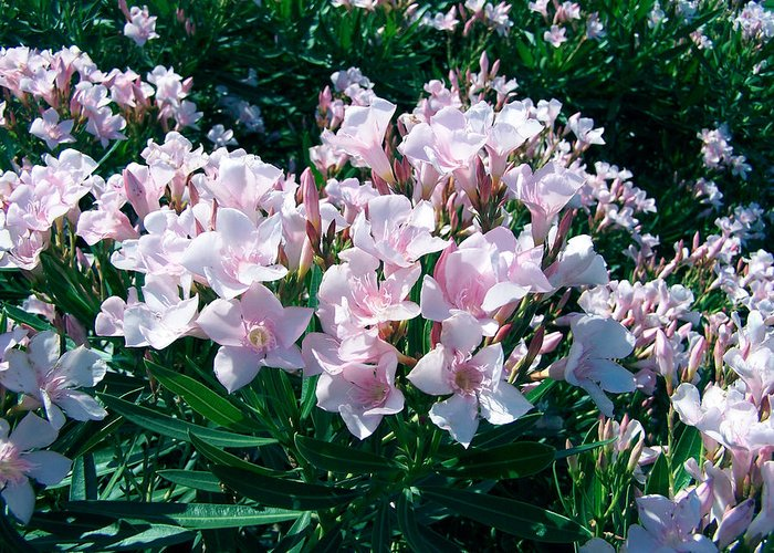 Flower Photography Greeting Card featuring the photograph Summer Oleander by Evelyn Patrick