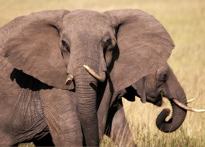 Elephant Greeting Card featuring the photograph 1-elephant by Michel Legare
