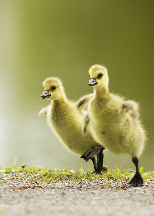 Goose Greeting Cards