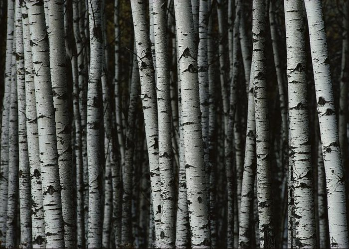 riding Mountain National Park Greeting Card featuring the photograph A Forest Of White Birch Trees Betula by Medford Taylor