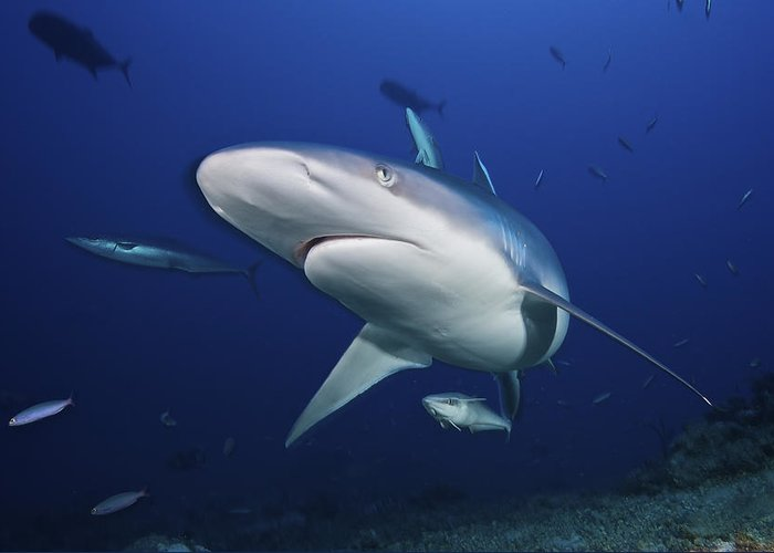 Deep Greeting Card featuring the photograph A Large Silvertip Shark, Fiji by Terry Moore