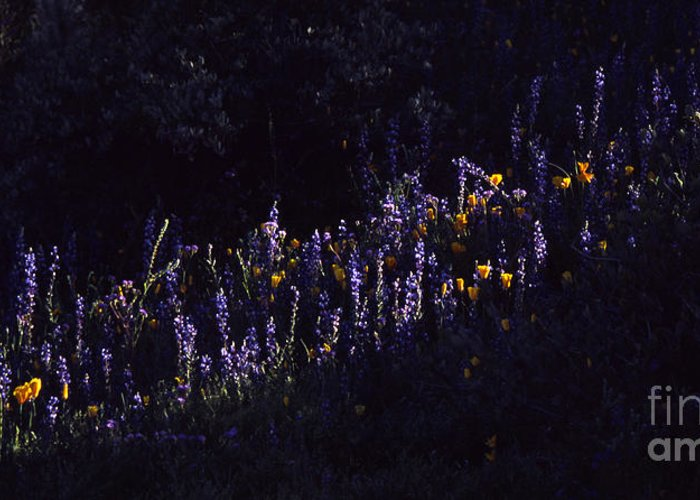 Lupine Greeting Card featuring the photograph A Streak Of Nature by Randy Oberg