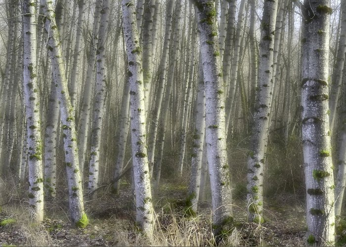 Birch Trees Greeting Card featuring the photograph Afternoon Birch Trees by Kevin Felts
