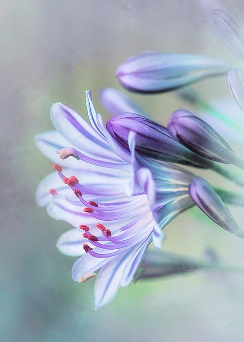 When The Agapanthus Is Flowering.....christmas Is Not Far Away. Greeting Card featuring the photograph Agapanthus. by Lyn Darlington