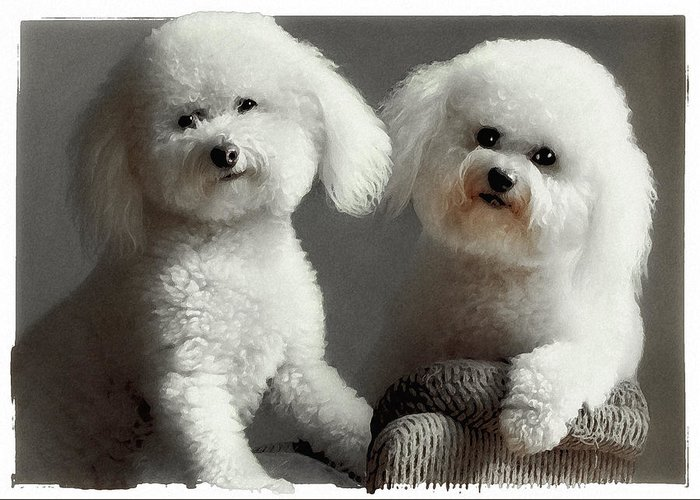 Bichon Frise Greeting Card featuring the photograph All Smiles by Lynn Andrews