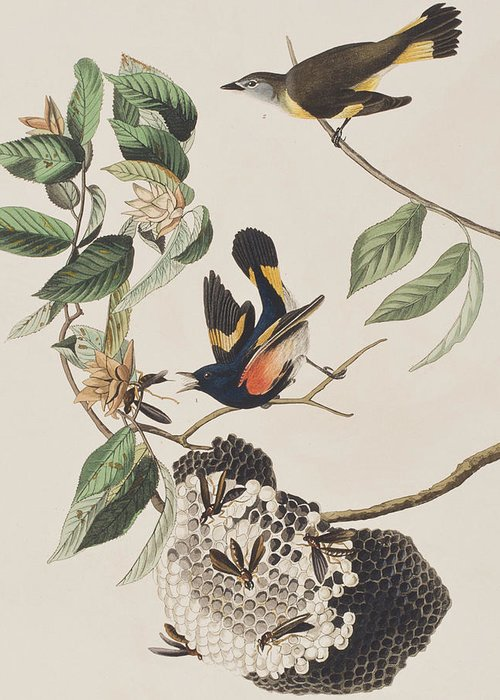 American Redstarts Greeting Cards