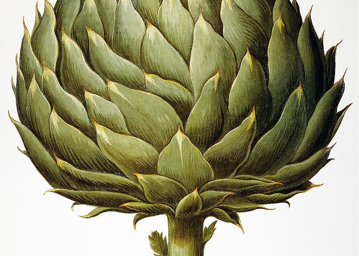 1613 Greeting Card featuring the photograph Artichoke, 1613 by Granger