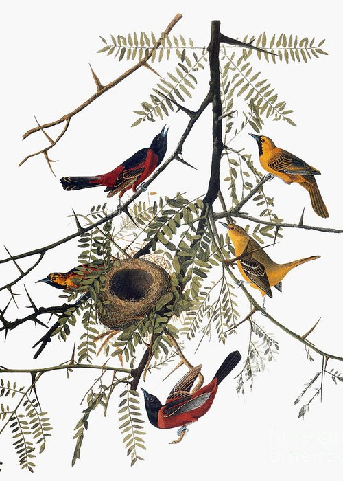 1838 Greeting Card featuring the photograph Audubon: Oriole by Granger
