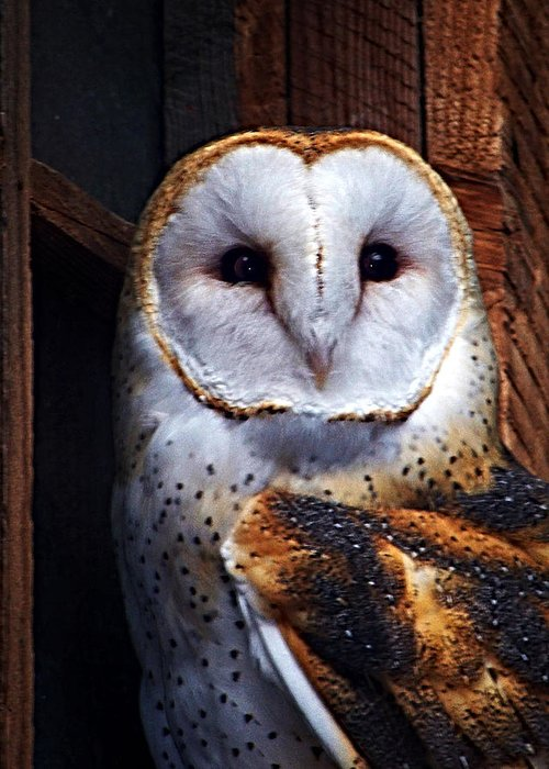 Digital Painting Greeting Card featuring the photograph Barn Owl by Anthony Jones