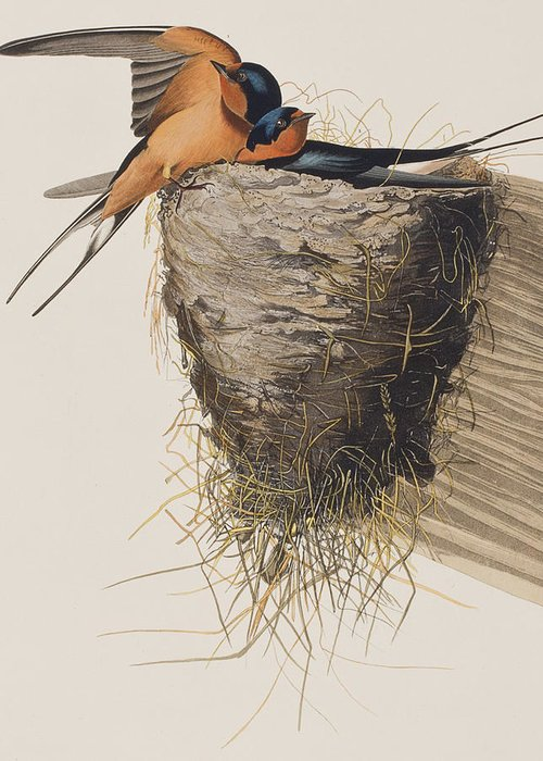 Barn Swallow Greeting Cards