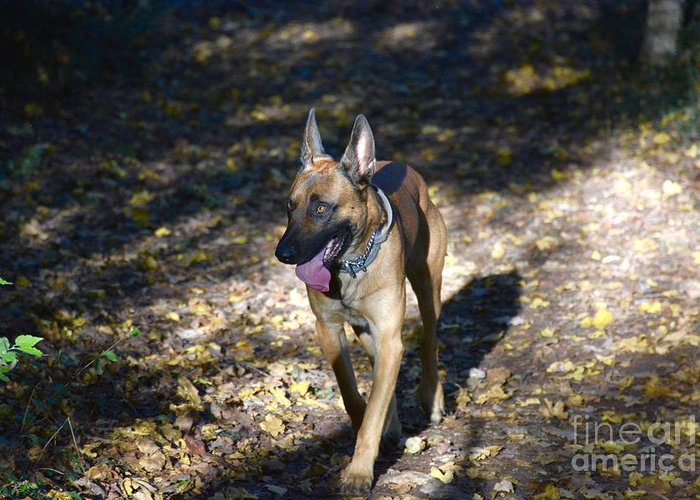 Belgian Greeting Card featuring the photograph Belgian Malinois by Photos By Zulma