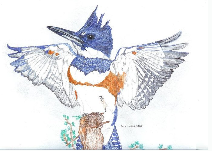 Belted Kingfisher Drawing by Don Gallacher