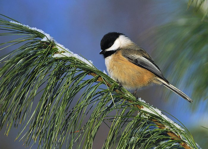 Black-capped Chickadee Greeting Card featuring the photograph Black-capped Chickadee by Tony Beck