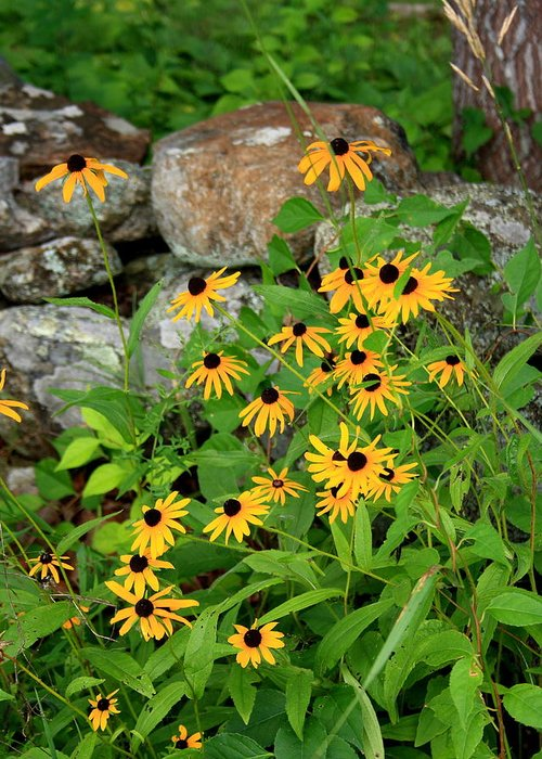 Fall Greeting Card featuring the photograph Black Eyed Susan by Doug Mills