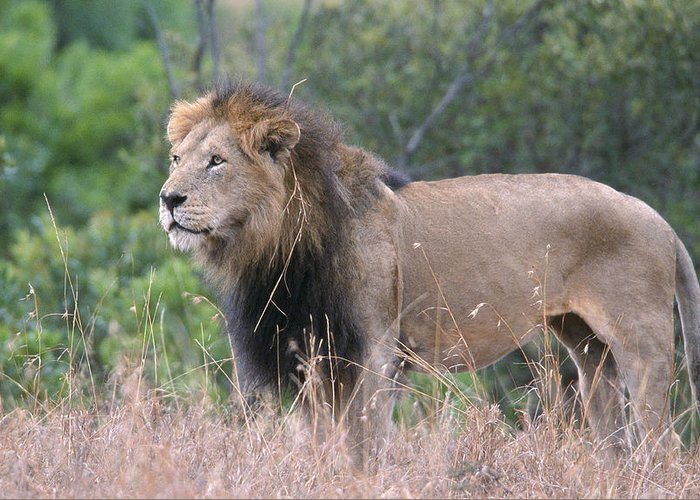 Lion Greeting Card featuring the photograph Black Maned Lion by Sandra Bronstein