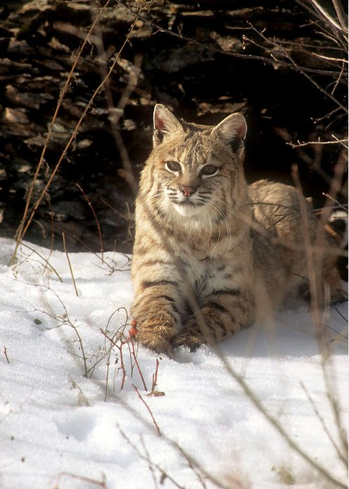 Wildlife Greeting Card featuring the photograph Bobcat In The Snow. by Larry Allan