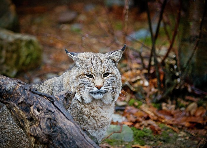 Bobcat Greeting Card featuring the photograph Bobcat by Jim DeLillo