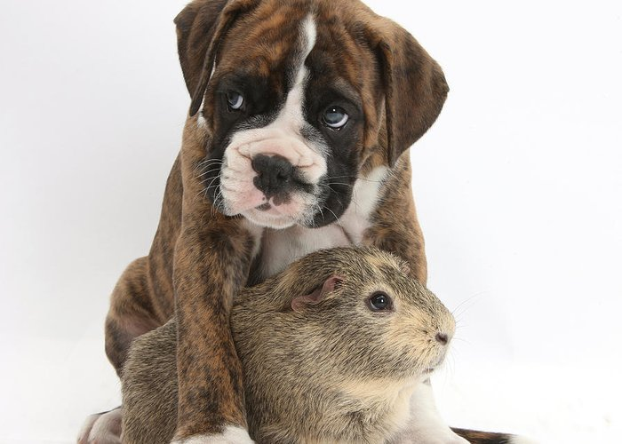 Nature Greeting Card featuring the photograph Boxer Puppy And Guinea Pig by Mark Taylor