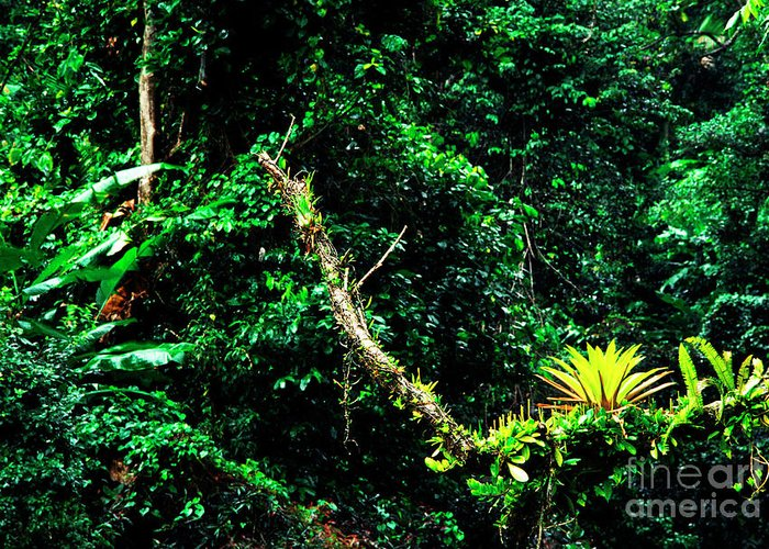 El Yunque National Forest Greeting Card featuring the photograph Bromeliads El Yunque National Forest by Thomas R Fletcher