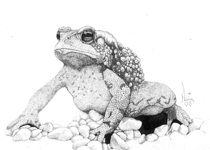 Toad Art Toads Reptile Artist Toad Stool Toader American Spadefoot Greeting Card featuring the drawing Bufo Americanus by Preston Shupp
