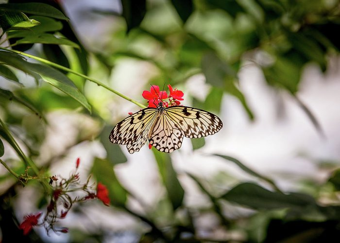 Butterfly Greeting Card featuring the photograph Paper Kite Butterfly by Jimmy Tran