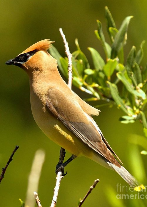 Cedar Waxing Greeting Cards