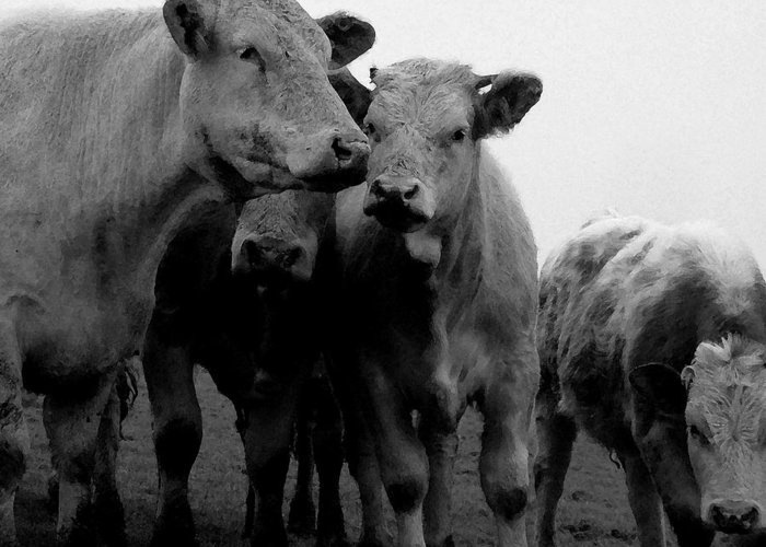 Cheshire Cattle Greeting Card featuring the photograph Cheshire Cattle by John Bradburn