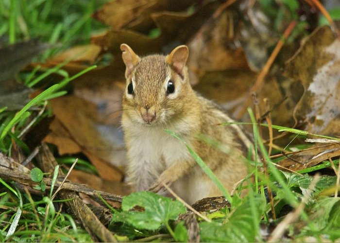 Chipmunk Greeting Card featuring the photograph Chipmunk by Michael Peychich